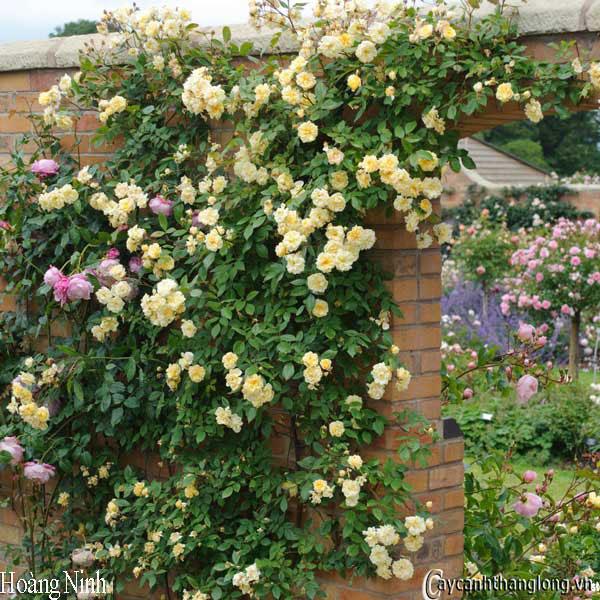 hoa hong ban cong hoang ninh