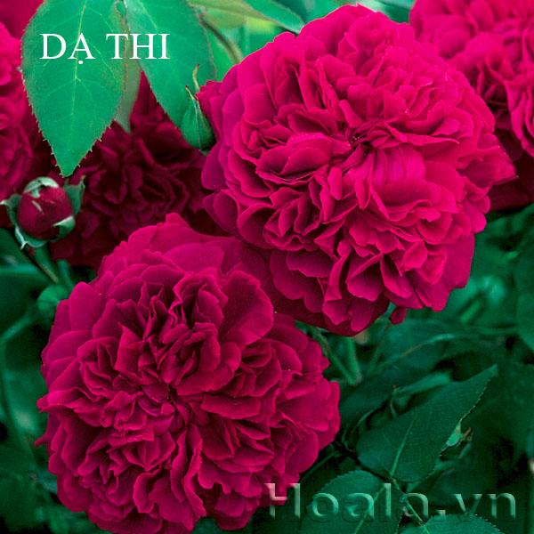 hoa da thi