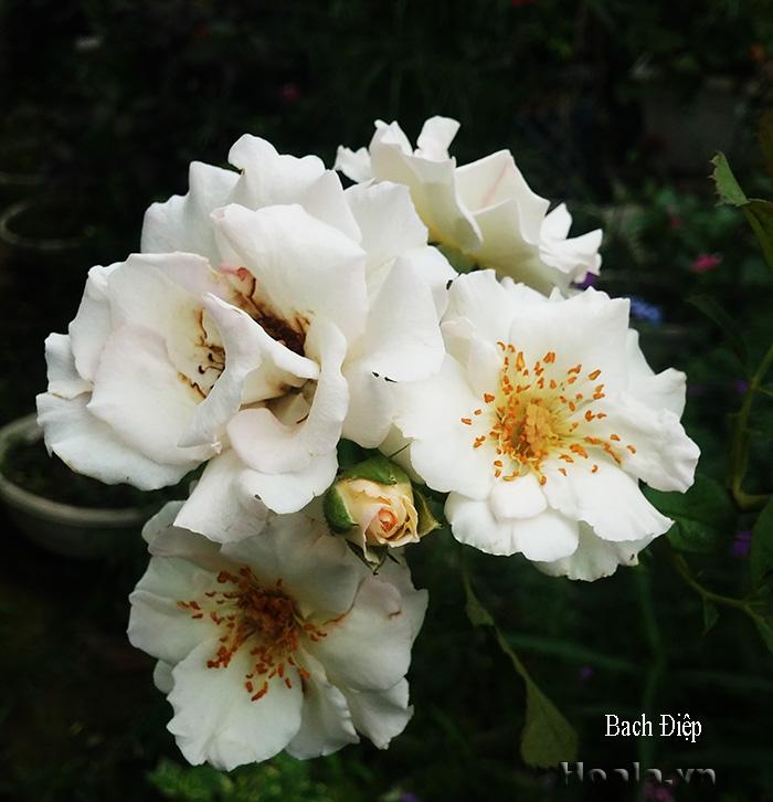 Hoa hong leo mau trang - hong leo bach diep 31