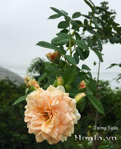 hoa hong leo tuong ngan