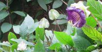 Cây Hoa Chuông Nam Mỹ