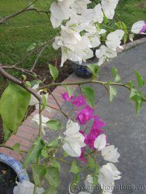 Hoa giấy hai màu