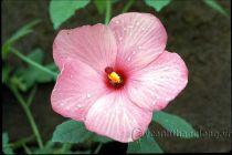 Hoa Hoàng Quỳ