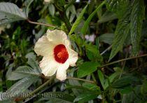 Hoa Bụp giấm (hoa Vô Thường)