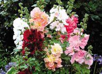 Cây hoa mãn đỉnh hồng