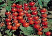 Cà chua Anh đào