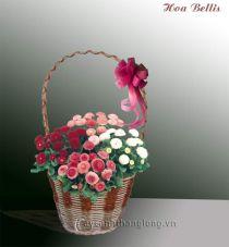 Điện hoa - Cúc Bellis
