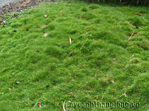 Cây cỏ nhung