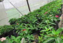Cây giống Dừa rủ