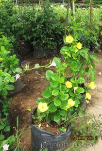 Cây giống Hoàng thảo