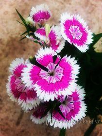 Cây giống Hoa cẩm nhung