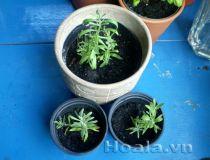 Cây giống hoa Oải hương ( lavender)