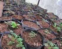 Cây giống Hoa Cúc thái