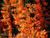Hoa Chùm Ớt ( Lý đỏ)