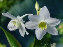 Hoa Ngọc trâm