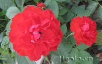 Hoa hồng son