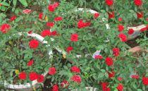 Hoa hồng Thái đỏ