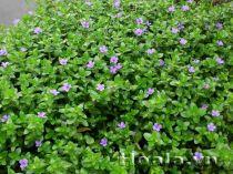 Cây hoa ngổ hương thủy sinh