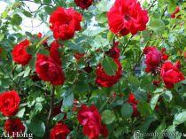 Hoa hồng leo Ái Hồng 43
