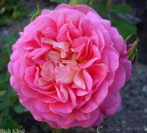 Hoa hồng leo Bích Khuê 45