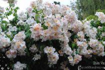 Hoa hồng leo Thiên Vân 71