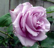 Hoa hồng leo Bích Ngân 77