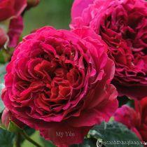 Hoa hồng leo Mỹ Yến 78