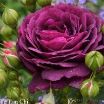Hoa hồng leo Tử Lan Chi 110