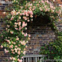 Hoa hồng leo Vân Thảo 115
