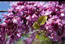 Cây hoa Hạnh phúc