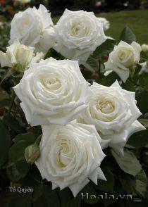 Cây hoa hồng leo Tố Quyên 153