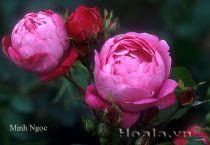 Cây hoa hồng leo Minh Ngọc 151