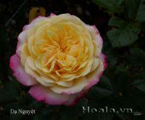 Cây hoa hồng leo Dạ Nguyệt 123