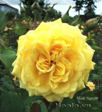 Cây hoa hồng leo Minh Nguyệt 135