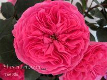 Cây hoa hồng leo Tuệ Nhi 148