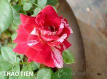 Cây hoa hồng leo Thảo Tiên 155