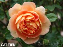 Cây hoa hồng leo Cát Tiên 154