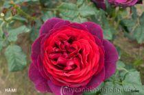Cây hoa hồng leo Hà My 140
