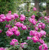 Cây hoa hồng leo Phượng Vũ 134