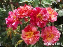 Cây hoa hồng leo Hồng Thu 132