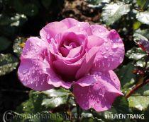 Cây hoa hồng leo Huyền Trang 126