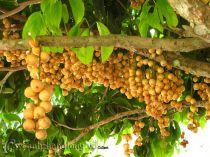 Cây Bòn bon, cây dâu da đất