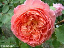 Cây hoa hồng leo Vân Khánh 133