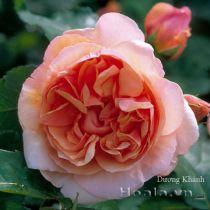 Cây hoa hồng leo Dương Khánh 119
