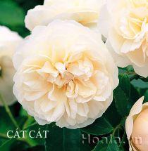 Cây hoa hồng leo Cát Cát 172