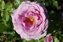 Cây hoa hồng leo Bích Hồng 190