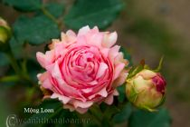 Cây hoa hồng leo Mộng Loan 200