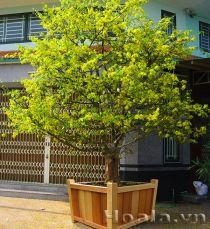 Chậu gỗ trồng hoa cây cảnh 75
