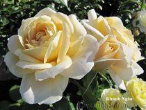 Cây hoa hồng leo Khánh Ngân 214
