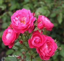 Cây hoa hồng leo Huyền Ngọc 218